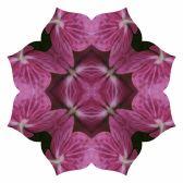 Pink hydrangea Lotus8-3